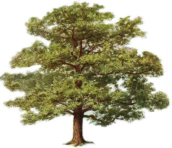 Oak Tree Clip Art--0