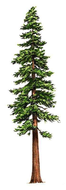 Redwood Tree Clip Art