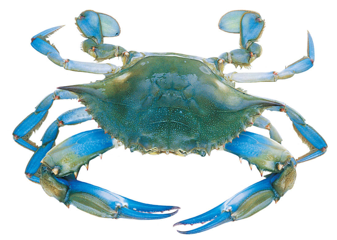 1000 Images About Blue Crab .-1000 images about Blue Crab .-0
