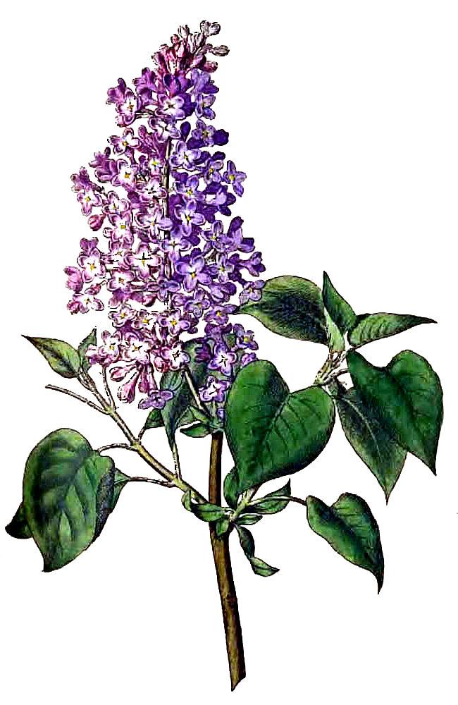 Lilac Clip Art
