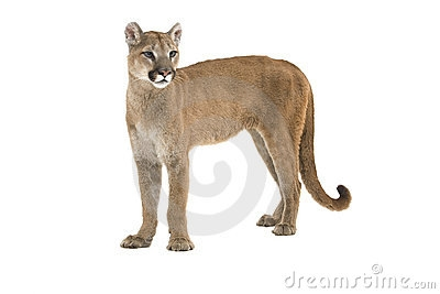 92088704-mountain-lion-clipart .