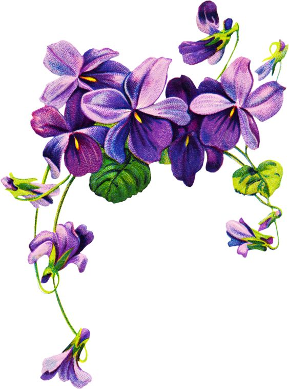 african violets border clip art | Free v-african violets border clip art | Free vintage Violet graphics-10
