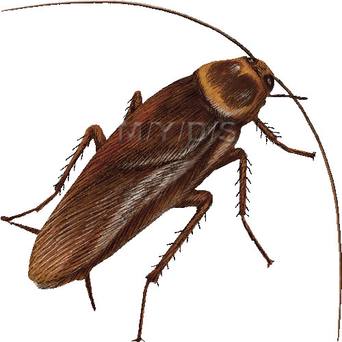 American cockroach palmetto bug waterbug clipart graphics free