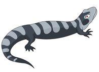 amphibian striped salamander clipart. Size: 38 Kb