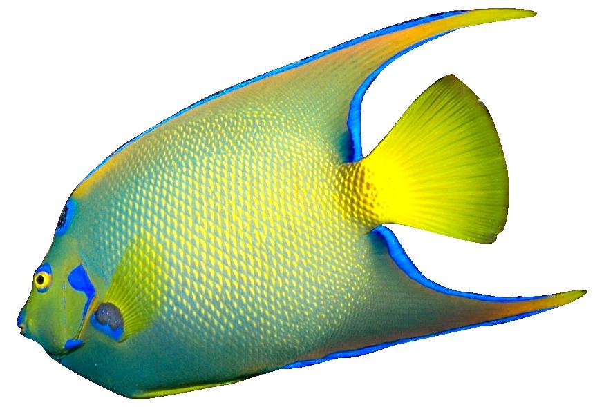 Angelfish Clipart-Angelfish Clipart-11