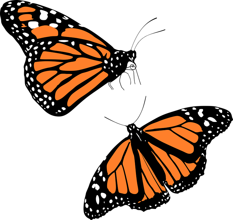 Animal, Butterflies, Butterfly, Insect-Animal, Butterflies, Butterfly, Insect-7