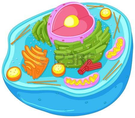 animal cell: Close up diagram of animal cell illustration