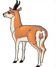 Antelope-Antelope-1