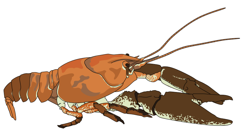 Are you looking for a crayfish clip art for use on your projects? Search no more because you can use this nicely done crayfish clip art whenever you are ...