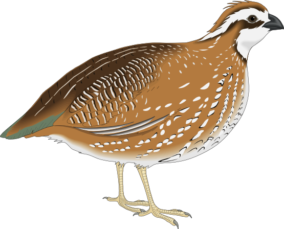 Are you looking for a quail clip art for-Are you looking for a quail clip art for use on your projects? This nice quail clip art is perfect for use on your bird books, magazines, school projects, ...-2