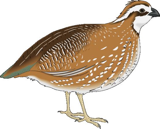 6 quail clipart clipartlook