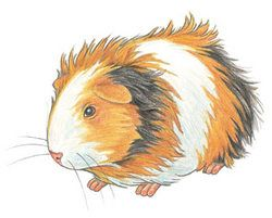 Art Tips for Kids | How to Draw a Guinea Pig Step by Step | Walter