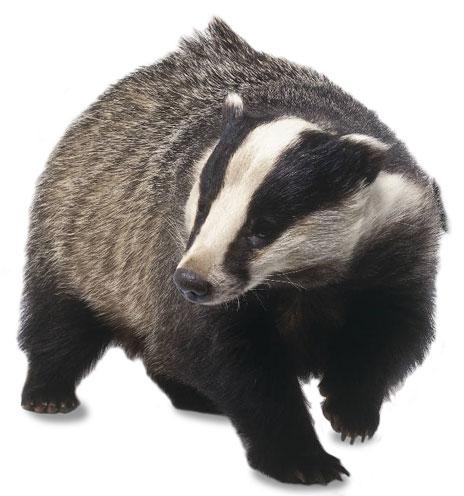 Badger Clipart #9   92 Badger Clipart   -Badger Clipart #9   92 Badger Clipart   Tiny Clipart-8