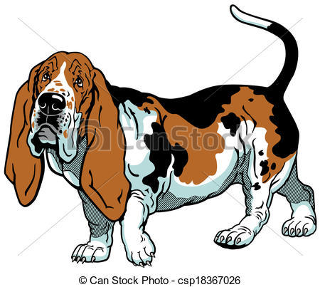 ... basset hound - dog basset hound breed , image isolated on... ...