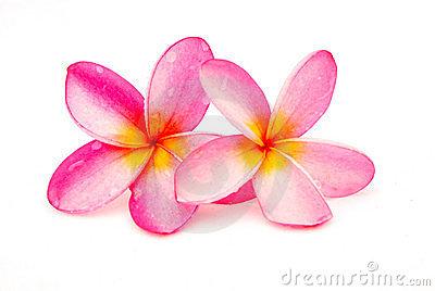 Beautiful Frangipani plumeria