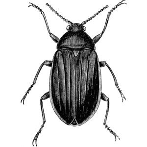 Beetle Clipart - Beetle Clipart