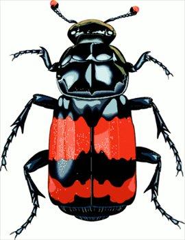 big-beetle