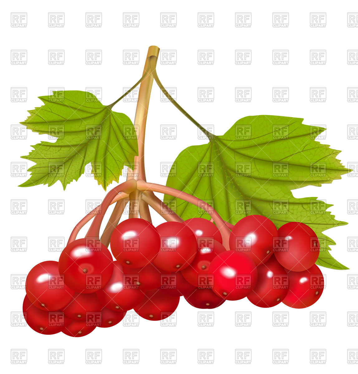 Red viburnum berries Vector Image u2013 Vector Illustration of Plants and  Animals © Olliven #93852 Click to Zoom