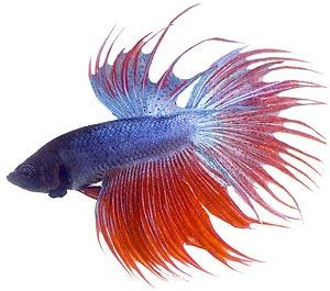 Betta Fish Clip Art