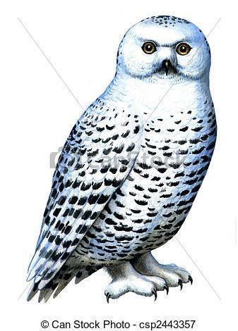 ... Bird Snowy Owl - Colored Drawing On -... Bird Snowy owl - Colored drawing on the paper bird Snowy owl.-2