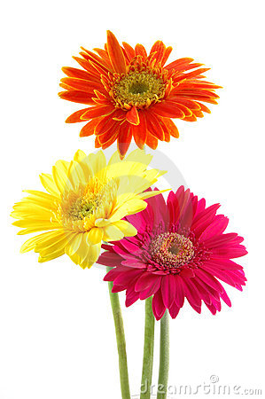 Blue Gerber Daisy Clip Art. Colorful Ger-Blue Gerber Daisy Clip Art. Colorful gerber daisies .-1