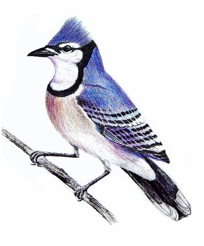 Blue Jay Bird Drawings for Sale