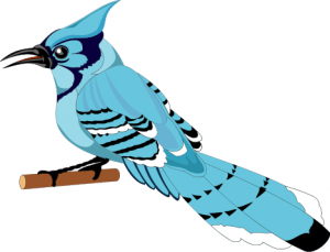 Blue Jay Cawing