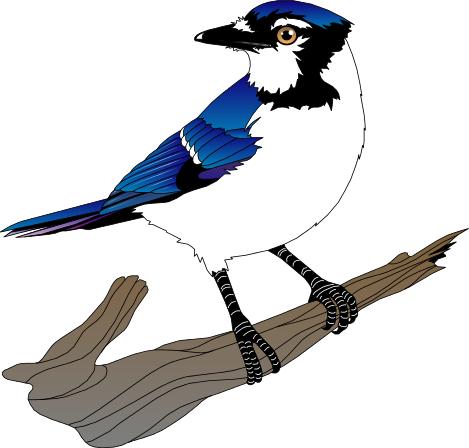 Blue Jay Clip Art Download
