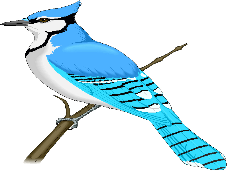 Blue Jay Clipart Clipart Best