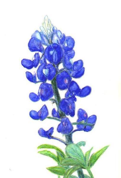 Bluebonnet Clip Art - Bluebonnet Clip Art