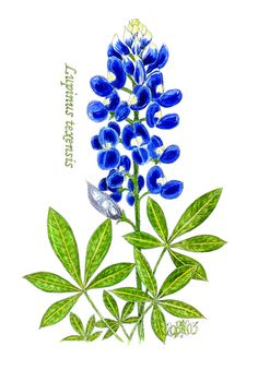 Bluebonnet On Pinterest Flower Coloring -Bluebonnet On Pinterest Flower Coloring Pages Texas Bluebonnets And-10