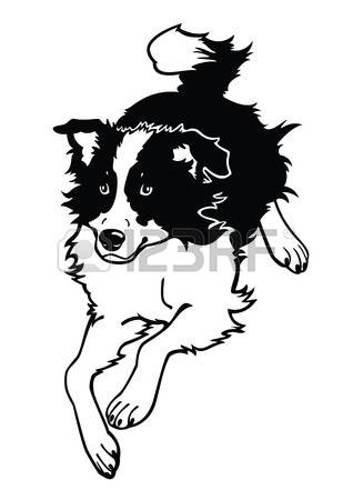 border collie: running dog,border collie,black and white vector image isolated on