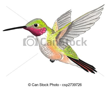 ... Broad-tailed Hummingbird - male Selasphorus platycercus