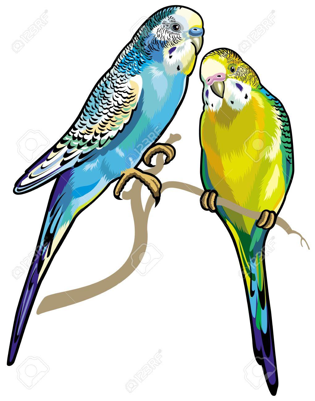 Budgie: Budgerigars Australian Parakeets-budgie: budgerigars australian parakeets isolated on white background Illustration-0