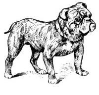 bulldog-bulldog-19