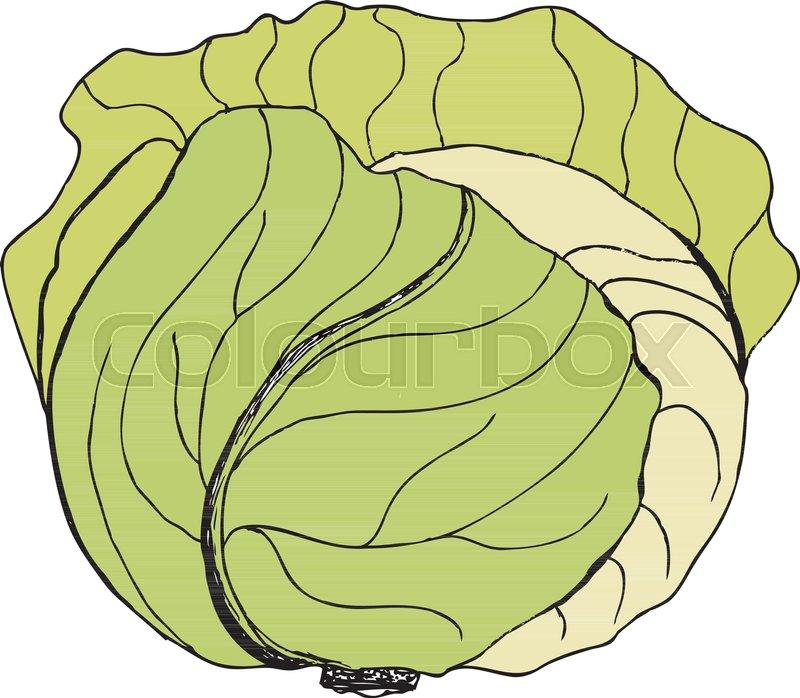 Stock Vector Of U0027Vector Green Liner -Stock vector of u0027Vector green liner cabbage. Cabbage clipart. Vector  vegetable. Vector-14