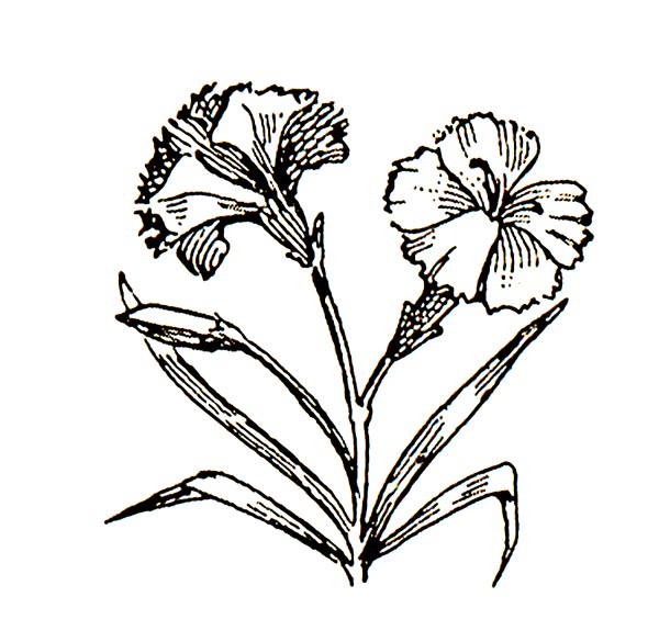 carnation clipart