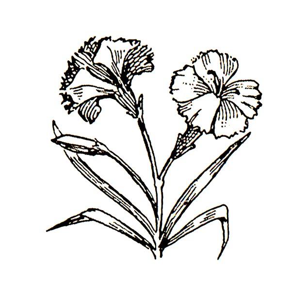 carnation clipart-carnation clipart-15