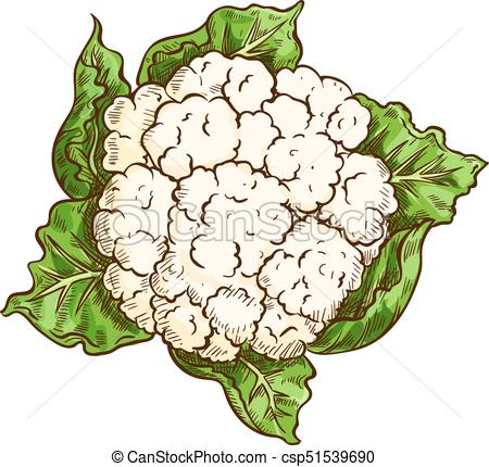 Cauliflower cabbage vegetable isolated sketch - csp51539690
