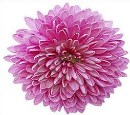 chrysanthemum-chrysanthemum-2