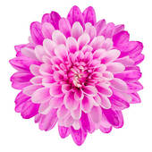 Chrysanthemum Flower Background Stock Clipart Gg58463628 Gograph
