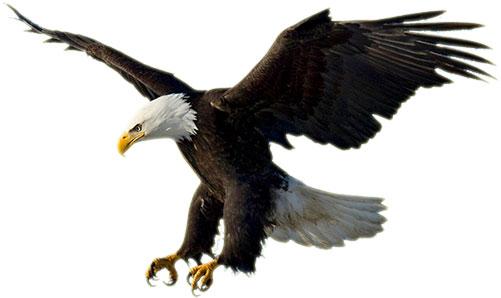 Clipart American Bald Eagle - .-Clipart american bald eagle - .-8