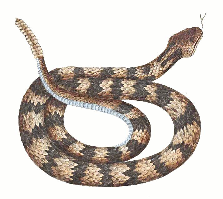 Clipart Animals Snake Rattlesnake Rattle-Clipart Animals Snake Rattlesnake Rattlesnake 2 Rattlesnake Clipart-0