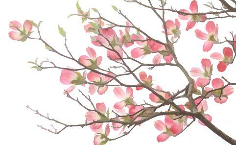 Clipartflowersdogwood. Clipartflowersdogwood