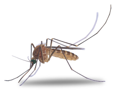 Cliparti1 Mosquito Clipart