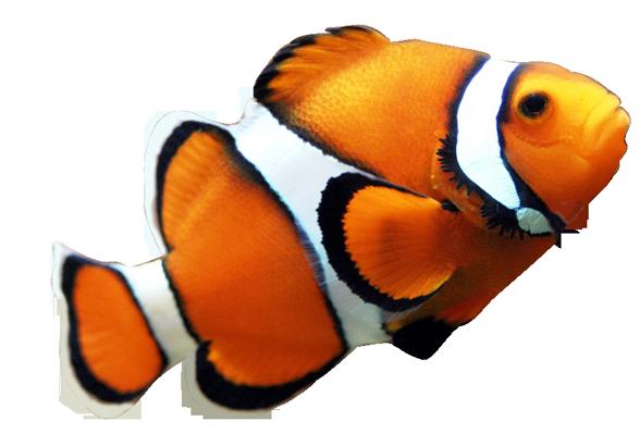 Clown Fish Clipart Clipart .