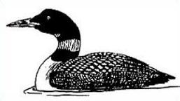 Common Loon-Common Loon-4