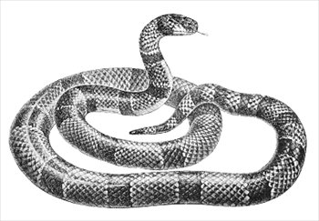 coral-snake-2-coral-snake-2-16