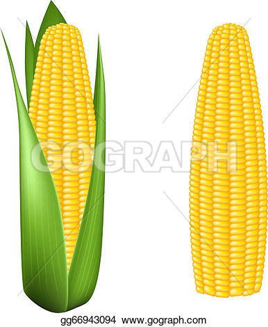 Corn u0026middot; Corn cob with green leaves