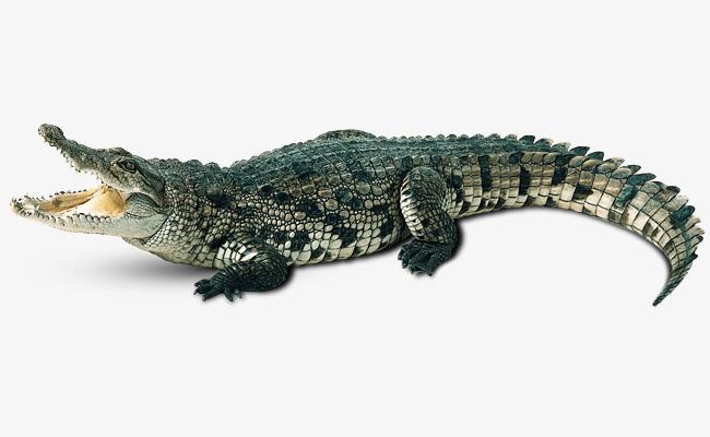 Aquatic Crocodile, Crocodile Clipart, Ch-aquatic crocodile, Crocodile Clipart, Chinese Alligator, Crocodile PNG  Image and Clipart-2